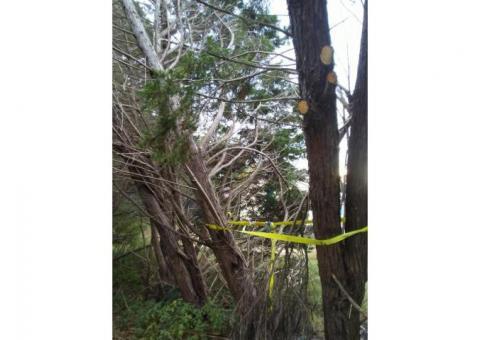 Mature Cedar-Type Trees Free